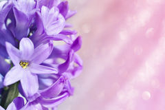Hyacinth flower Stock Photo