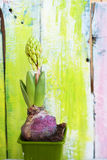 Hyacinth flower photo Royalty Free Stock Images