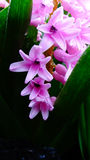 Hyacinth Flower /pink com haste e as folhas verdes fotografia de stock royalty free