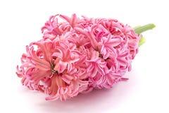 Hyacinth flower. Pink Hyacinth flower, Hyacinthus orientalis isolated on white Stock Photo