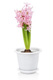 Hyacinth flower in pot isolated Stock Photography
