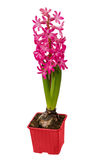 Hyacinth flower pot isolated white background.. Clipping path Royalty Free Stock Images