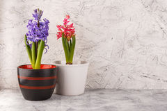 Hyacinth in flower pots. PInk and violet hyacinths in white flower pots and white photo frame on white background Stock Images