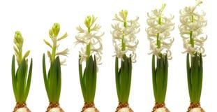 Hyacinth Flower Series Immagini Stock Libere da Diritti