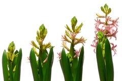 Hyacinth Flower Series Stock Photo