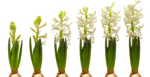 Hyacinth Flower Series Royalty Free Stock Images