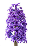 Hyacinth flower Royalty Free Stock Photo