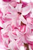 Hyacinth flower Stock Image