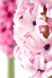 Hyacinth flower Stock Photography