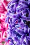 Hyacinth flower Stock Photos