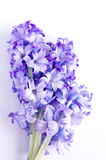 Hyacinth flower on white background Stock Photography