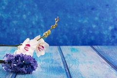 Hyacinth flower and white orchid on blue wood copy space Stock Image