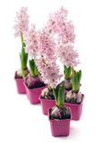 Hyacinth flower Royalty Free Stock Image