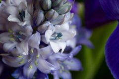 Hyacinth Flowerheads in macro Royalty Free Stock Image