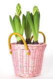 Hyacinth in flowerpot Stock Photos