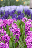 Hyacinth flowers Stock Photo