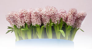 Hyacinth flowers Royalty Free Stock Photo