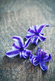 Hyacinth flowers Stock Image
