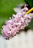 Hyacinth Flowers. Royaltyfria Bilder