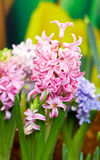 Hyacinth Flowers. Royaltyfria Foton