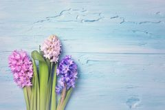 Hyacinth flowers. Above the blue background Stock Photography