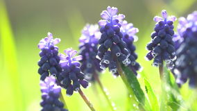 Hyacinth flowers stock footage