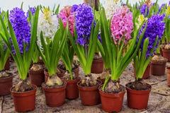 Hyacinth flowers. Beautiful fresh colorful hyacinth flowers Stock Photo