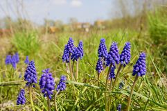 Hyacinth flowers Royalty Free Stock Photo