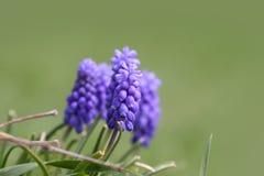 Hyacinth flowers Royalty Free Stock Image