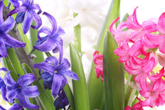 Hyacinth flowers closeup Royalty Free Stock Images