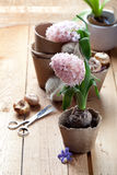 Hyacinth flowers in compostable pots and flower bulbs Stock Image
