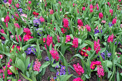 Hyacinth flowers Royalty Free Stock Images
