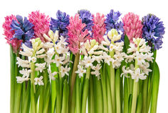 Hyacinth flowers with green leaves on white background Royalty Free Stock Image