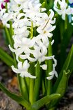 Hyacinth flower. S grow in nature Royalty Free Stock Photography