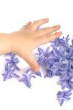 Hyacinth flowers and hand. Hyacinth flowers and children's hand Royalty Free Stock Photo