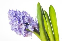 Hyacinth. Flowers isolated on black background Royalty Free Stock Photography