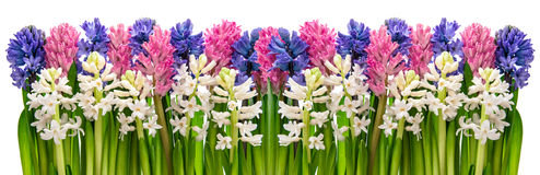 Hyacinth flowers. Pink, blue, white. Floral banner Stock Image
