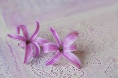 Hyacinth Flowers On Texture rosa fotografia stock libera da diritti