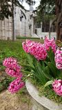 Hyacinth. Flowers at Topkapi Palace, Istanbul Royalty Free Stock Photo