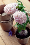 Hyacinth flowers in turf pots and flower bulbs on old wooden tab Royalty Free Stock Photos