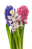 Hyacinth flowers on white background Royalty Free Stock Photography