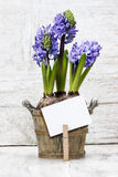 Hyacinth flowers in wooden pot Stock Photo