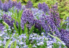 Hyacinth in the garden stock image