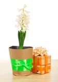 Hyacinth with gift box on table Royalty Free Stock Images