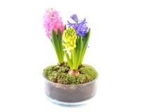 Hyacinth in glasspot. Stock Photos
