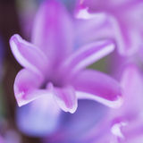 Hyacinth Grasp Stock Image