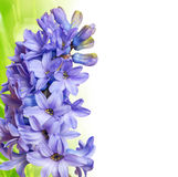Hyacinth and grass Royalty Free Stock Images