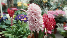 Hyacinth in the greenhouse stock footage