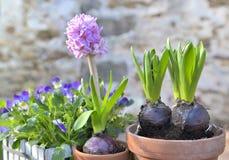 Close on hyacinth growing in flowerpot. Closeup on hyacinth growing in flowerpot in a terrace garden stock image