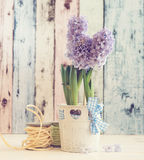 Hyacinth growing in a pot Royalty Free Stock Photo